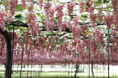 Koshu style trellis cultivation